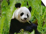 Giant Panda Feeding, Qionglai Mtns, Sichuan, China Art by Lynn M. Stone