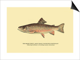 The Brook Trout, Showing Brilliant or Breeding Season Coloration Poster by H.h. Leonard