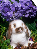 Baby Holland Lop Eared Rabbit, Amongst Hydrangeas, USA Prints by Lynn M. Stone