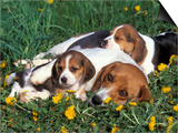 Beagle with Puppies in Grass Prints by Lynn M. Stone