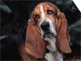 Bassett Hound Portrait, USA Art by Lynn M. Stone