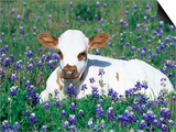 Domestic Texas Longhorn Calf, in Lupin Meadow, Texas, USA Posters by Lynn M. Stone