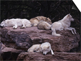 Gray Wolf, Canis Lupus Prints by D. Robert Franz