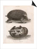 Common Hedgehog Seen from Two Different Angles Prints by J. Pass