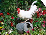 White Dorking Domestic Chicken Rooster / Cock Male, in Garden, USA Prints by Lynn M. Stone
