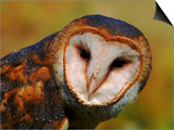 Barn Owl Portrait Prints by Lynn M. Stone