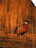 Ringneck Pheasant Prints by D. Robert Franz