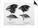 Finches from the Galapagos Islands Observed by Darwin Prints by R.t. Pritchett