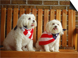 Maltese Dogs Wearing the American Flag Prints by Karen M. Romanko