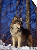Gray Wolf, Canis Lupus Print by D. Robert Franz