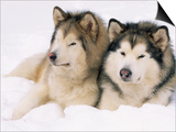 Two Alaskan Malamute Dogs, USA Prints by Lynn M. Stone