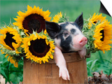 Mixed-Breed Piglet in Basket with Sunflowers, USA Print by Lynn M. Stone
