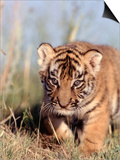 Bengal Tiger Cub, Panthera Tigris Prints by D. Robert Franz