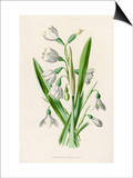 Snowdrop Depicted with Leucajum Aestivum: Snowflake Prints by F. Edward Hulme
