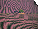 Aerial View of Tree in Lavender Field, Baronnies, Provence, France Posters by Jean E. Roche