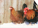 Red Dorking Domestic Chicken Cock and Hen, in Snow, Iowa, USA Prints by Lynn M. Stone