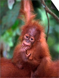 Baby Sumatran Orangutan, Indonesia Prints by D. Robert Franz
