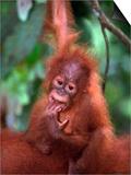 Baby Sumatran Orangutan, Indonesia Prints by D. Robert Franz