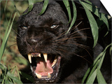 Melanistic (Black Form) Leopard Snarling, Often Called Black Panther Prints by Lynn M. Stone