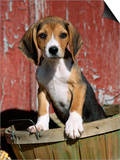 Beagle Dog Puppy Prints by Lynn M. Stone