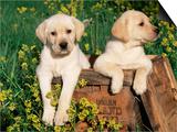 Two Labrador Retriever Puppies, USA Prints by Lynn M. Stone