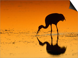 Sandhill Crane, Feeding at Sunset, Florida, USA Prints by Lynn M. Stone