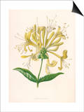 Honeysuckle Print by F. Edward Hulme