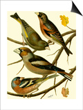 Domestic Bird Family II Posters by W. Rutledge