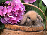 Baby Holland Lop Eared Rabbit in Basket, USA Poster by Lynn M. Stone