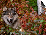 Grey Wolf Amongst Woodland Leaves, Minnesota, USA Print by Lynn M. Stone
