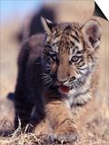 Siberian Tiger Cub, Panthera Tigris Altaica Prints by D. Robert Franz