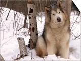 Alaskan Malamute Dog, USA Posters by Lynn M. Stone