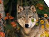 Grey Wolf Portrait, USA Posters by Lynn M. Stone