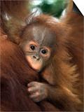 Baby Sumatran Orangutan, Indonesia Posters af D. Robert Franz