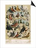 Fancy Pigeon Breeds Affiche par A.f. Lydon