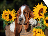 Bassett Hound Pup with Sunflowers Poster by Lynn M. Stone