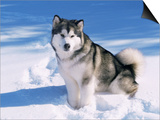 Alaskan Malamute Dog, in Snow, USA Prints by Lynn M. Stone