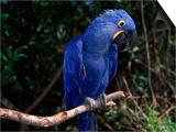 Hyacinth Macaw (Anodorhynchus Hyacinthinus) Poster by Lynn M. Stone