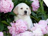 Yellow Labrador Retriever Puppy Posters by Lynn M. Stone
