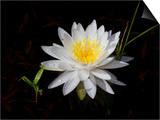 White Water Lily Prints by Lynn M. Stone