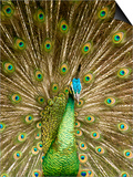 Peacock Displaying Feathers Prints by Lisa S. Engelbrecht