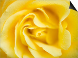Yellow Rose Print by Michael A. Keller