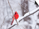 Cardinal in Snow Poster by Lynn M. Stone