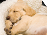 Labrador Retriever Puppy Sleeping in its Bed Posters by Rick A. Brown