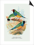 Gouldian Finch Posters by Arthur G. Butler