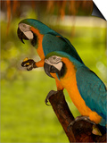 Two Blue and Gold Macaws Poster di Lisa S. Engelbrecht