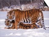 Siberian Tigers Prints by Lynn M. Stone