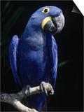 Hyacinth Macaw (Anodorhynchus Hyacinthus) Posters by Lynn M. Stone