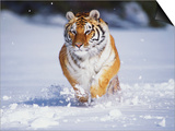 Tiger Running in Snow Posters by Lynn M. Stone