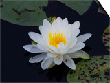 White Water-Lilly Poster by Lynn M. Stone